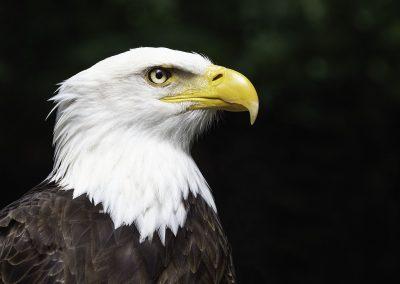 Bald Eagle Canada