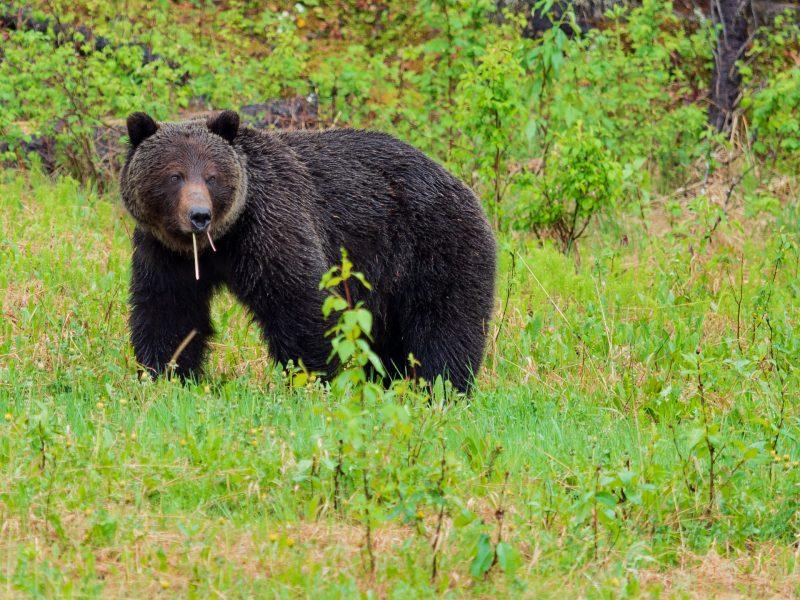 bear-at-jasper