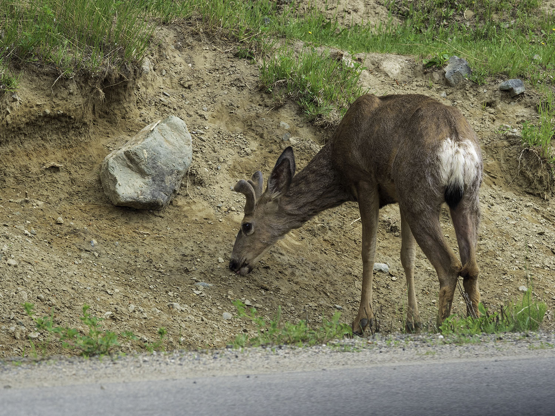 deer-at-sun-peaks