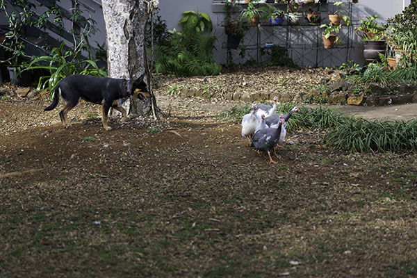 attached-jess-rounding-up-guinea-fowl