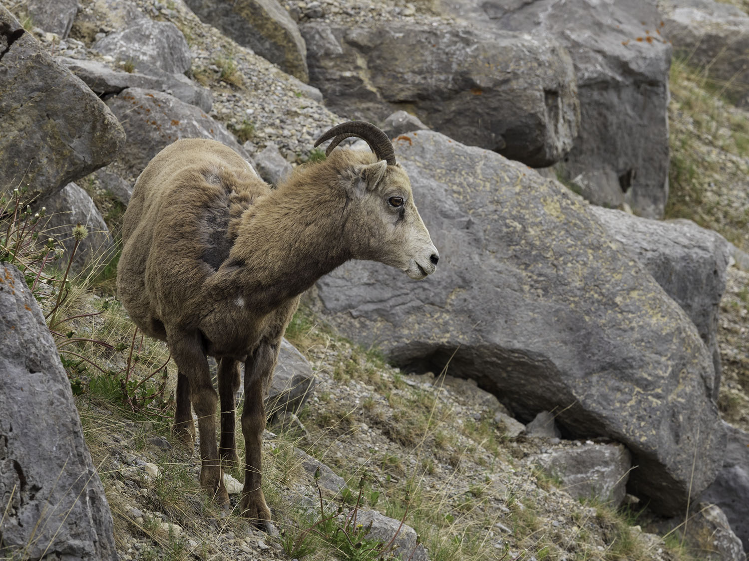 bighorn-sheep-medicine-lake